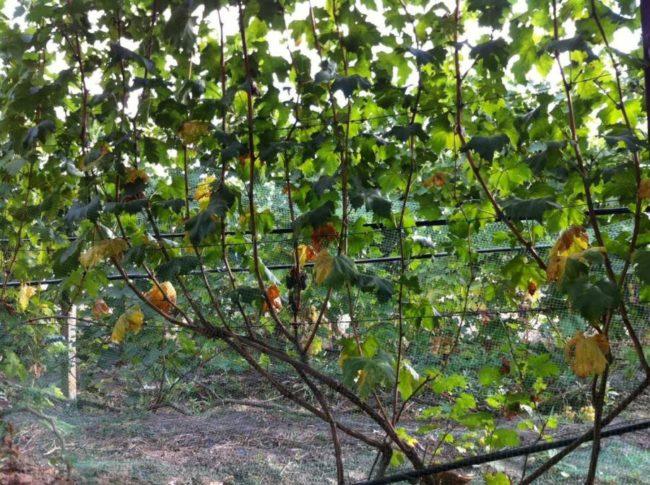 Взрослый куст столового винограда гибридной формы Князь Трубецкой
