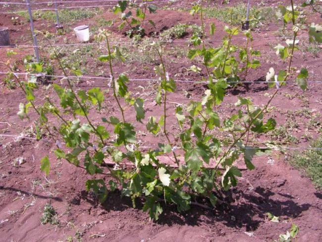 Молодой куст винограда с быстро растущими зелеными побегами