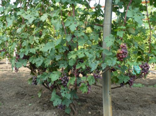 Взрослый куст винограда с гроздьями розово-фиолетовых ягод
