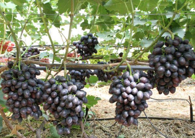 Виноградная лоза гибридного сорта Краса Балок под нормированной нагрузкой