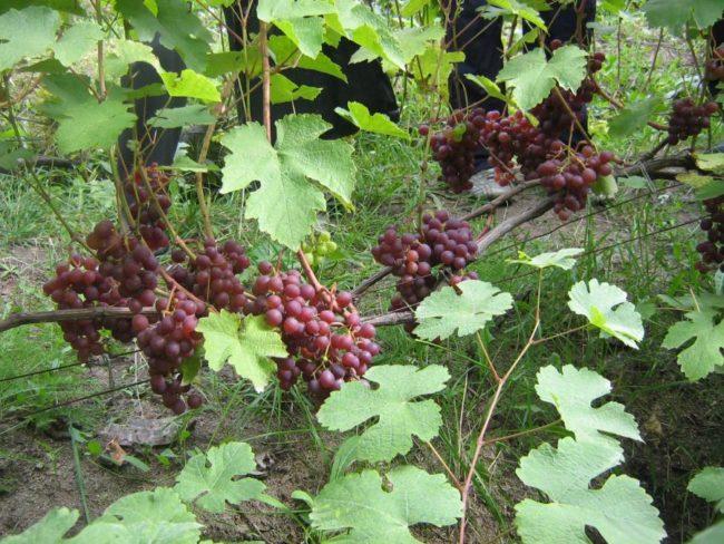 Куст винограда с крупными листьями ярко-зеленого цвета и гроздьями средней величины