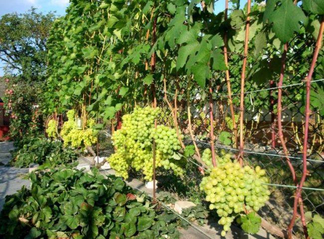 Взрослый куст столового винограда сорта лора украинской селекции с гроздьями спелых ягод