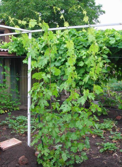 Молодой куст винограда сорта Валек на самодельной одноплоскостной шпалере