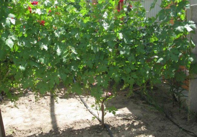 Взрослый куст гибридного винограда столового сорта Эверест на шпалере