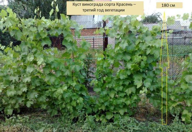Трехлетний куст винограда сорта Красень на шпалере в частном саду