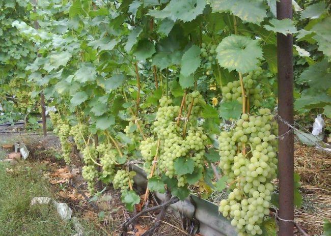 Куст гибридного винограда столового сорта Августин с гроздьями созревающих плодов