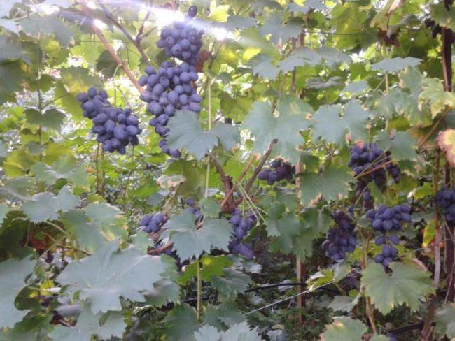 Куст винограда на шпалере с гроздьями синих ягод и темно-зелеными листьями
