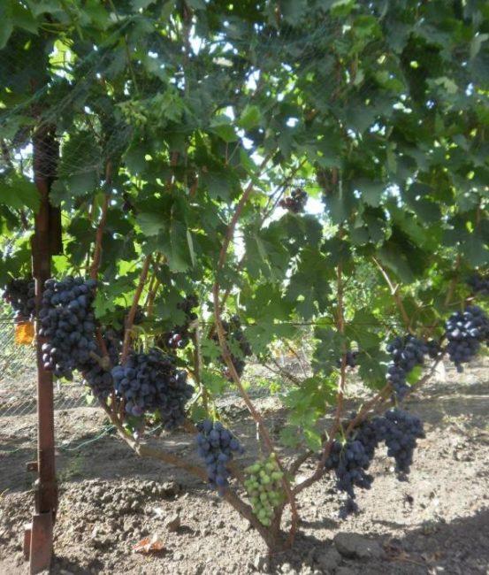 Куст винограда на шпалере с крупными гроздьями созревающих ягод темно-синего окраса