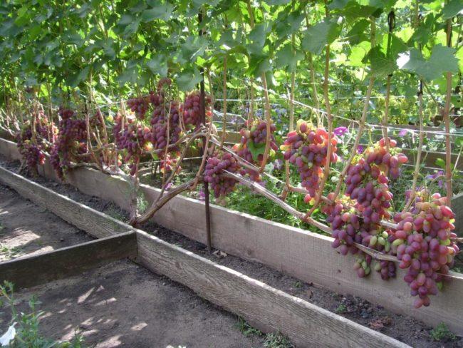 Куст винограда селекционного сорта Потомок Ризаната под нагрузкой