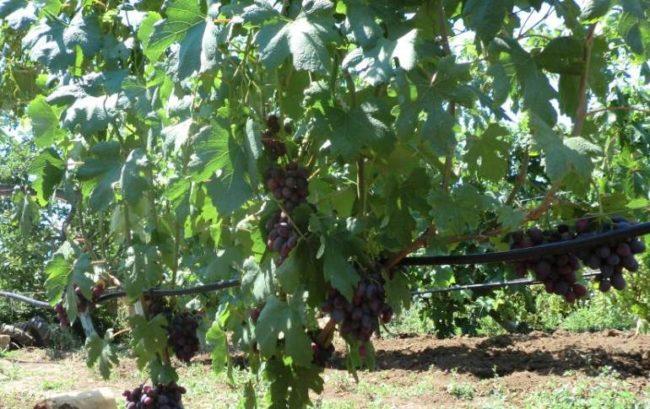 Куст винограда столового сорта с крупными листьями темно-зеленого цвета