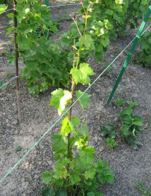 Молодые кусты винограда с зелеными ветками на временной подвязке