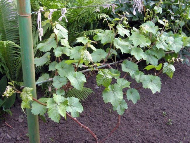 Молодой кустик винограда с зелеными побегами на самодельной шпалере