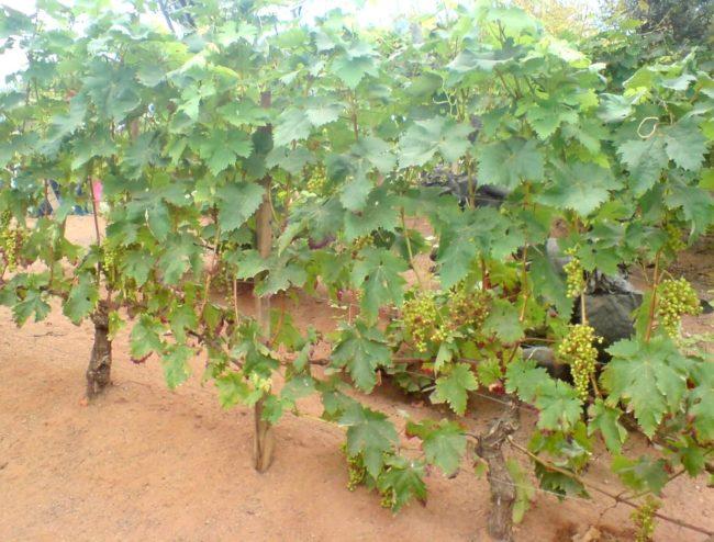 Кусты винограда Велес с зелеными гроздьями