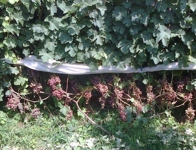 Кусты винограда с кистями созревающих плодов и защитная сетка от птиц и насекомых
