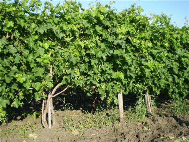 Виноградные кусты с густой растительной массой и гроздья завязавшихся ягод