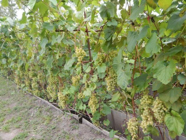 Виноградные кусты на шпалере с гроздьями шаровидных ягод желто-зеленого окраса