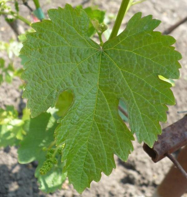 Резной лист винограда гибридного сорта Ласточка селекции Павловского