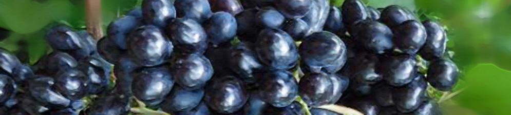 Спелые плоды тёмного винограда сорта ласточка вблизи