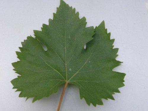 Лист винограда столового сорта Гарбена Ноу вблизи на фоне белой бумаги