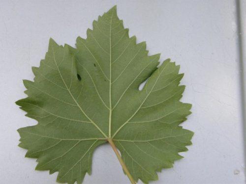 Внутренняя сторона виноградного листа гибридной формы Галбена Ноу