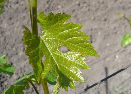 Виноградный лист светло-зеленого цвета с резными краями