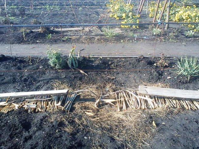 Подготовка виноградной лозы к зимнему укрытию в средней полосе России