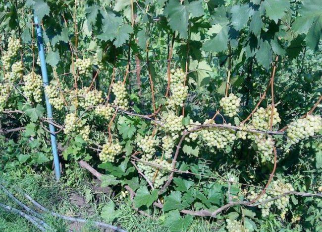 Куст белого столового винограда с гроздьями созревающих ягод