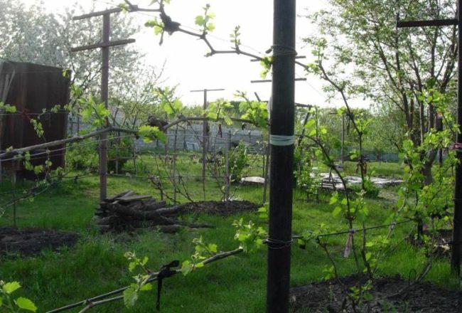 Виноградная лоза с молодыми побегами ранней весной на одноплосткостной шпалере