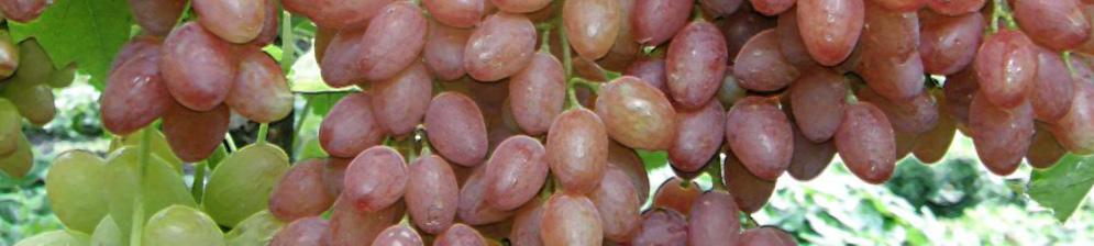 Зелёные и спелые плоды винограда сорта Лучистый с капельками росы