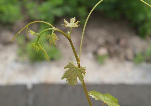 Молодой побег винограда с нежно зелеными листочками гибридного сорта Лучистый