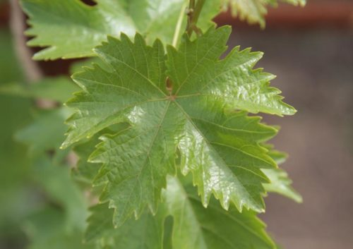 Виноградный лист крупным планом гибридной культуры Лучистый