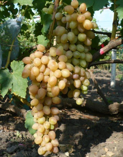 Две крупные кисти гибридного винограда с плодами желтоватого оттенка