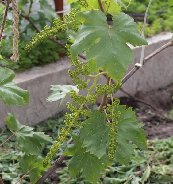 Метелки с обоеполыми цветками столового винограда сорта Лучистый