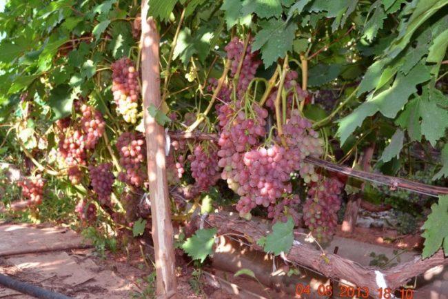 Виноградная лоза столового сорта Кишмиш Лучистый под нагрузкой