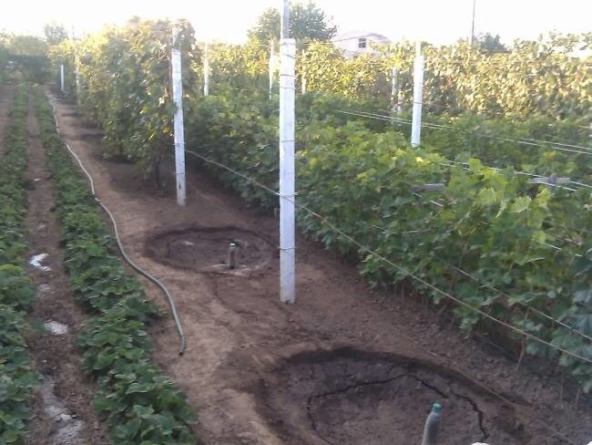Посадочные ямы на винограднике для молодых саженцев и стальные трубы однорядных шпалер