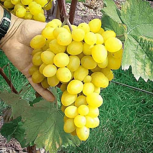 Гроздь столового винограда гибридной формы Макси Белый с ягодами нежно медового окраса
