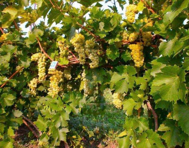 Взрослый куст гибридного винограда сорта Макси Белый с гроздьями созревающих ягод