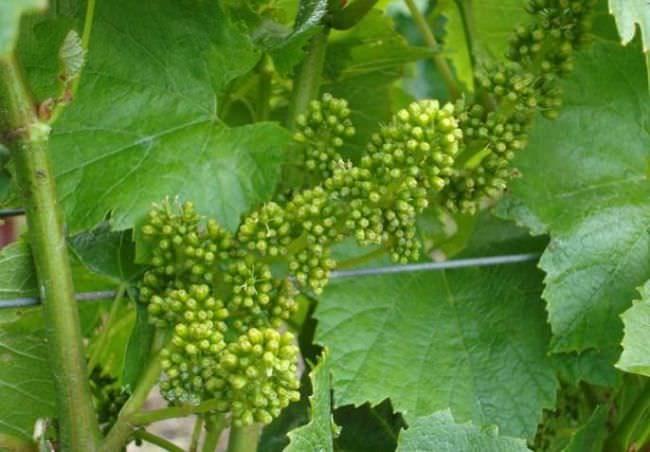 Кисточки винограда с завязями гибридного сорта Макси Белый и темно-зеленые листья