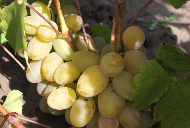 Овальные плоды столового винограда гибридной культуры Макси Белый