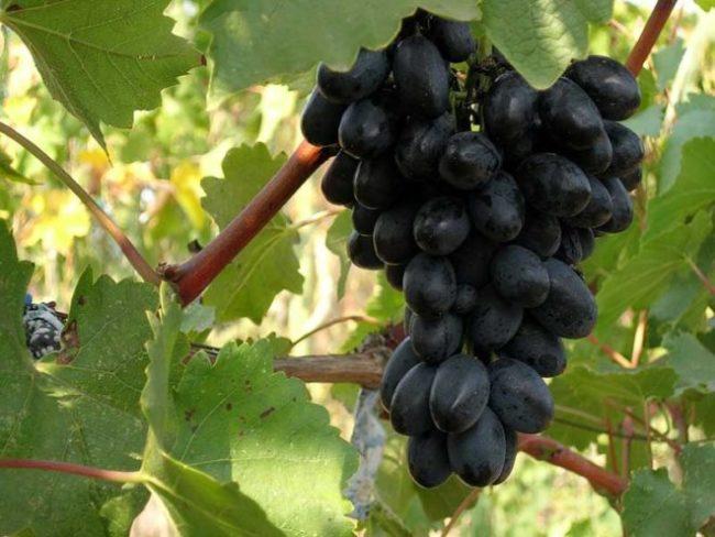 Гроздь винограда Макси Черный в период полной зрелости плодов