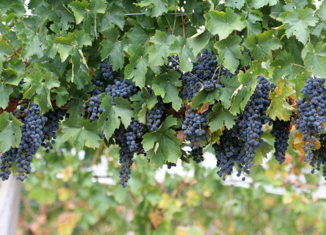 Виноградная лоза технического сорта Макси Черный с кистями созревающих ягод