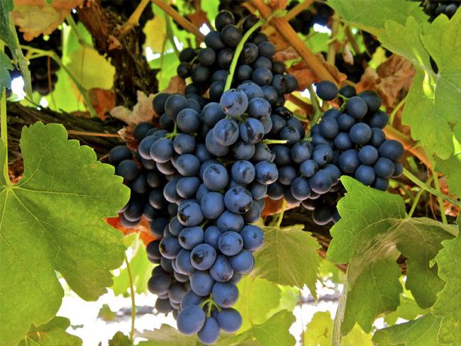 Грозди винограда технического предназначения Макси Черный с темно-синими ягодами