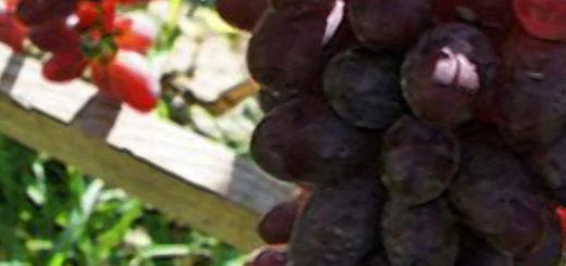 Кисть винограда малиновый супер на шпалере