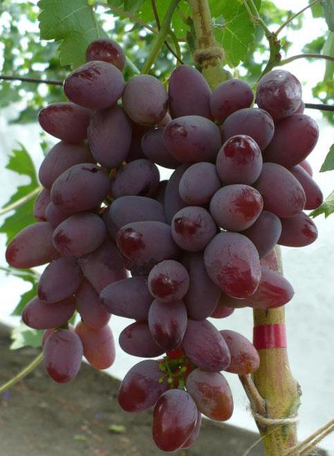 Гроздь винограда гибридного сорта Малиновый Супер