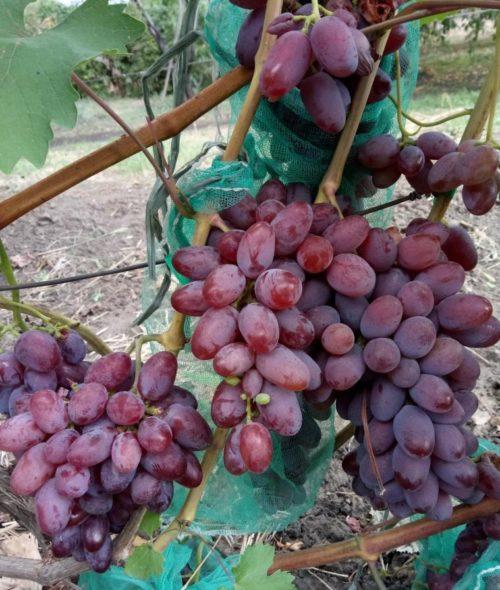 Крупные грозди гибридного винограда сорта Малиновый Супер и защитная сетка от насекомых