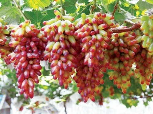Виноградная лоза гибридного сорта Маникюр Фингер в китайской провинции