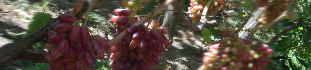 Виноград Маникюр Фингер спелые плоды на грохдях