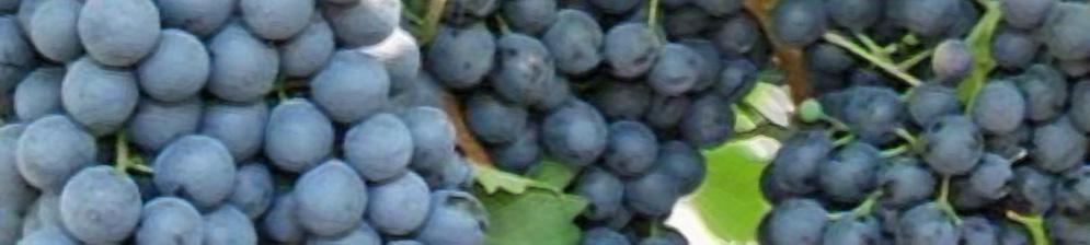 Спелые плоды винограда макси Чёрный