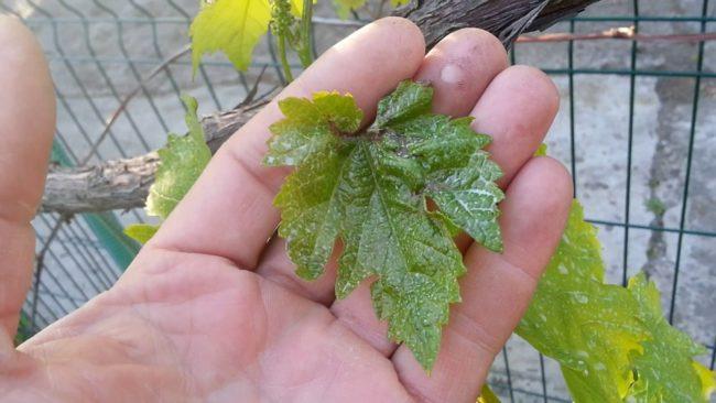 Человек держит молодой лист винограда, поражённый заболеванием