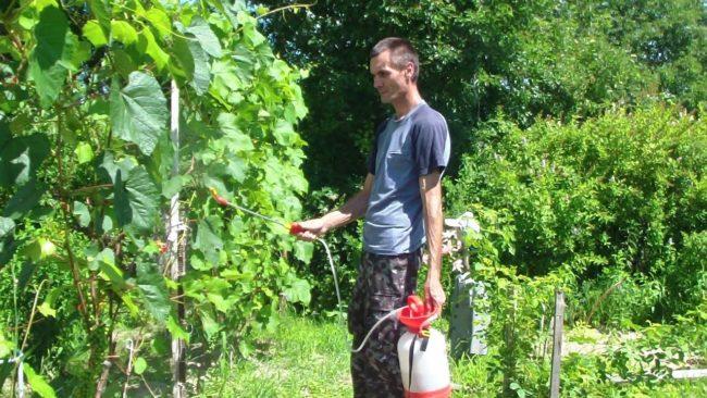 Мужчина опрыскивает виноградник специальным препаратом